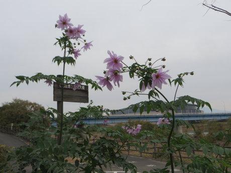 中央大橋付近の皇帝ダリア