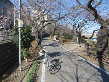 利根橋近くに桜の花