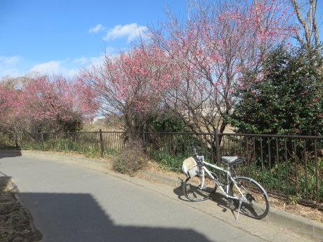 サイクリングロード沿いに梅の花