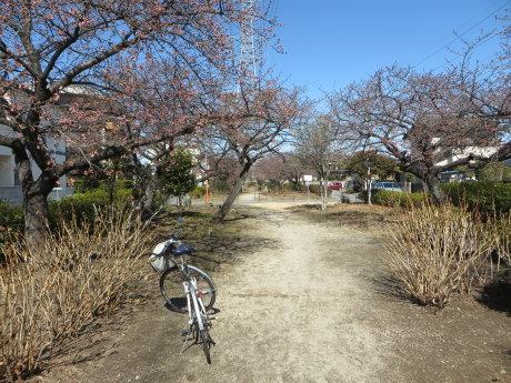 みろく緑地公園の河津桜はまだちょっと