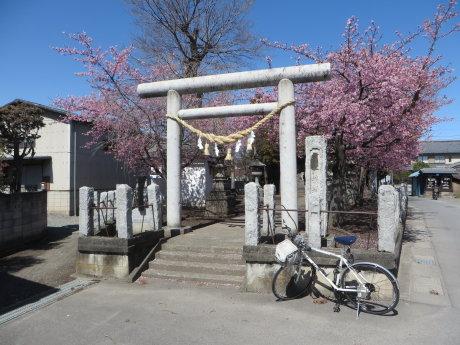 鏡神社の河津桜が見頃です