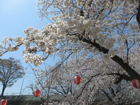 前橋公園のソメイヨシノ満開です