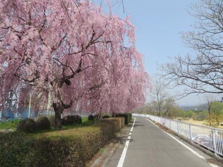 利根川サイクリングロード沿いのしだれ桜