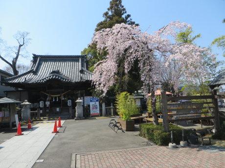 前橋東照宮のしだれ桜が