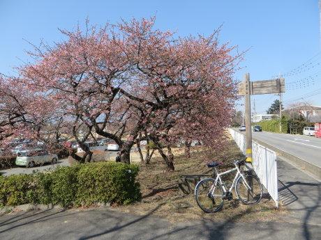 敷島の河津桜も