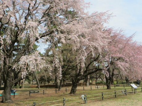 敷島公園のしだれ桜が咲きだしました