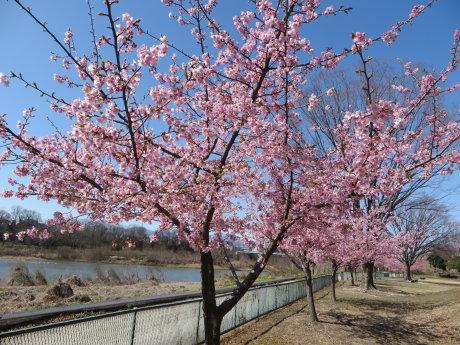 南町公園の河津桜も