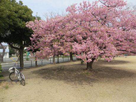 市之坪公園の河津桜、まだ見頃です。