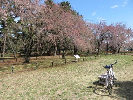 敷島公園の枝垂れ桜