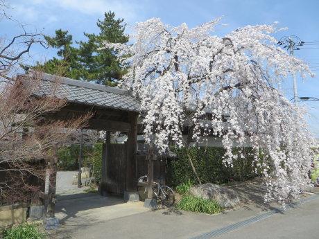 しだれ桜の慈眼寺へ