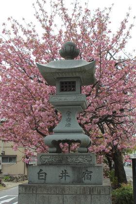 白井宿の八重桜は
