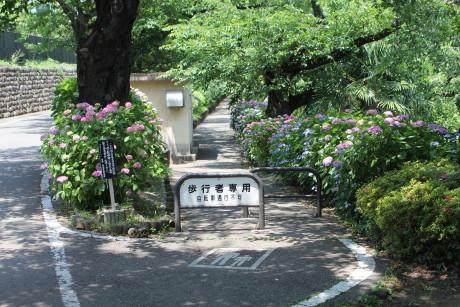 石倉町、紫陽花の小道
