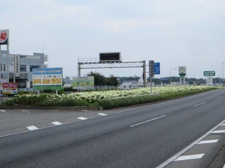 国道17号、渋川のアナベルが見頃に