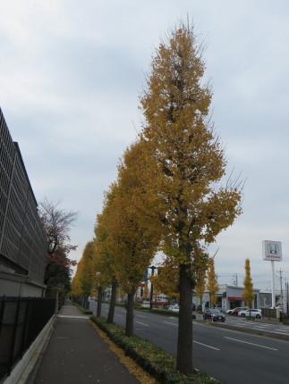 高前バイパスイチョウ並木の黄葉