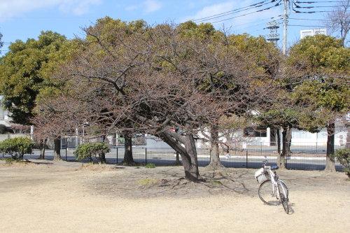 市之坪公園と敷島公園の河津桜