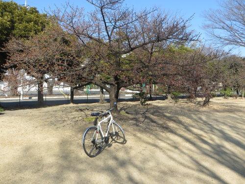 市之坪公園の河津桜もチラホラ
