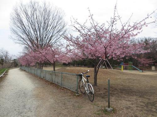 南町公園の河津桜が見頃に