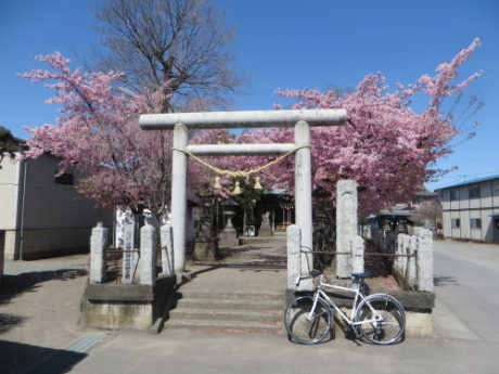 鏡神社の河津桜も見頃を迎えてました