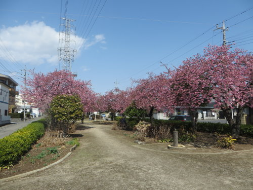 みろく緑地公園の河津桜も