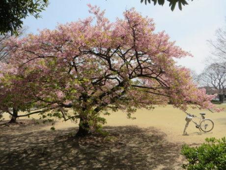 河津桜もそろそろ終わり