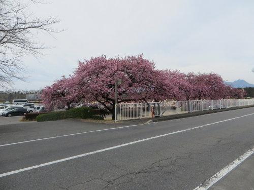 敷島公園近くの河津桜も