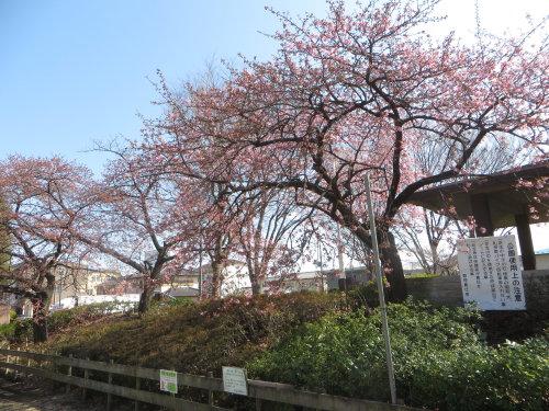 市之坪公園の河津桜がだいぶ咲いてきました