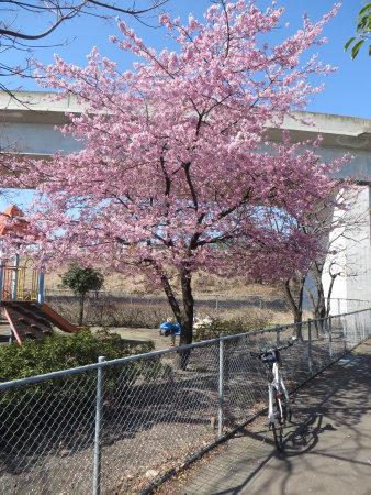 河津桜が見頃になってきました