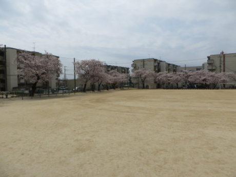 母校の桜とプルトップ