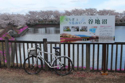 谷地沼の桜がキレイでした