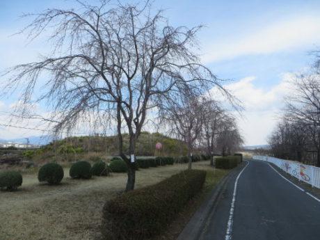 吉岡の枝垂桜
