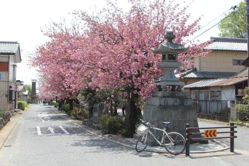 白井宿の八重桜は見頃でした。