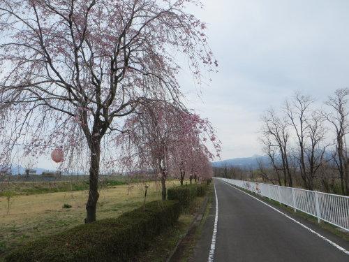 吉岡のしだれ桜が