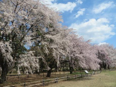 敷島公園のしだれ桜が満開に