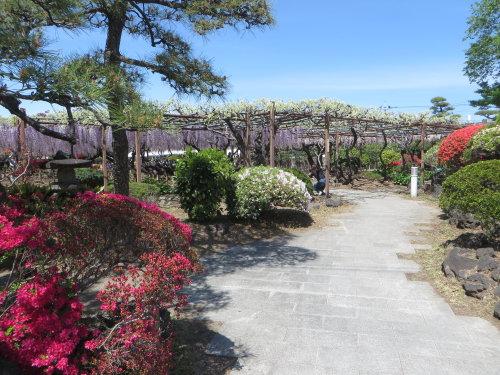 須賀の園の「藤まつり」へ