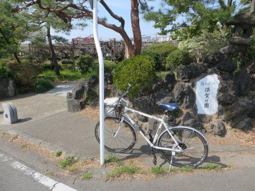 須賀の園の藤は、まだつぼみ