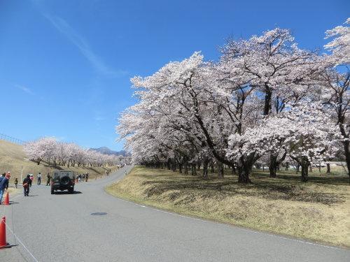 相馬原駐屯地は桜が満開でした
