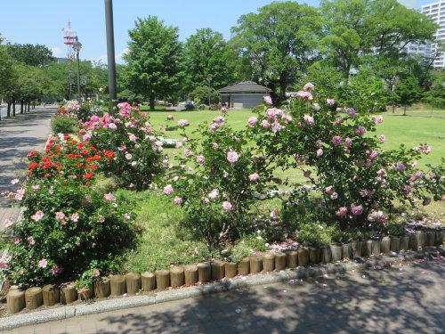 高崎城址公園の薔薇の花が見頃に