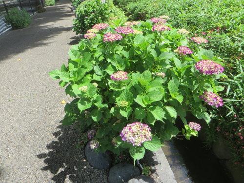 広瀬川詩の道の紫陽花も