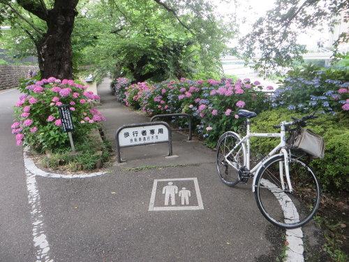 前橋市石倉町緑公園の紫陽花、見頃です。