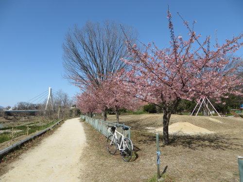 南町公園の河津桜は