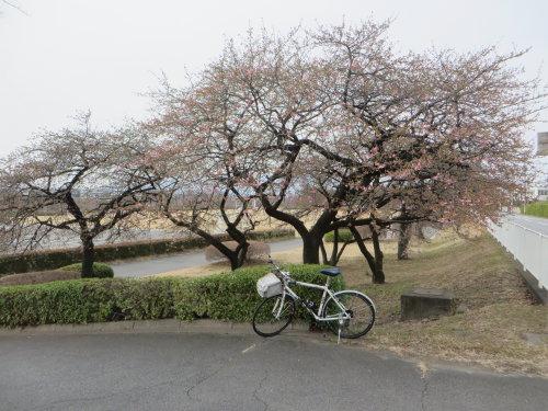 敷島公園近くの河津桜も咲き出してました