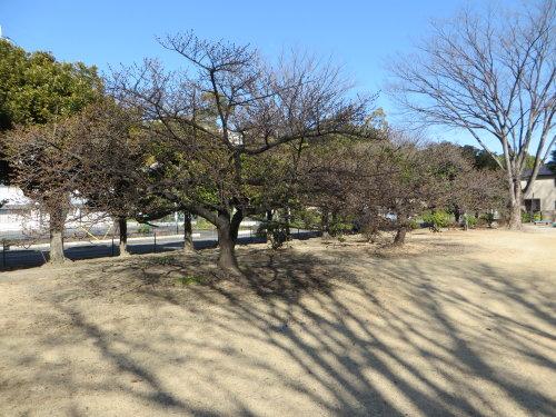 市之坪公園の河津桜が気になって