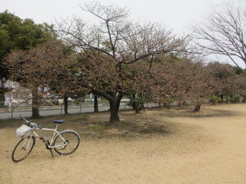 市之坪公園の河津桜が咲きだしました