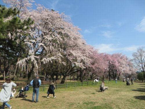 敷島公園の枝垂桜が