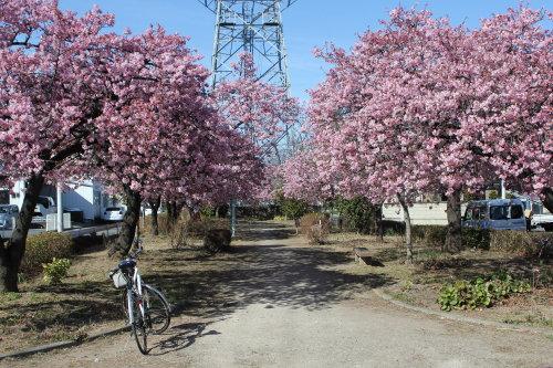 みろく緑地公園の河津桜が見頃に