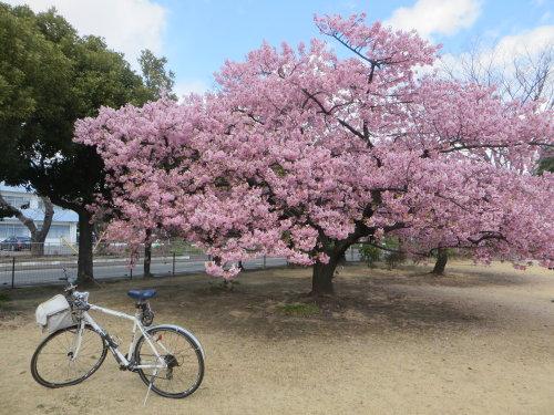 満開になった市之坪公園の河津桜