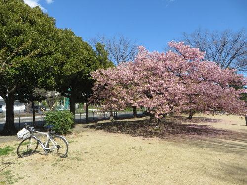 市之坪公園の河津桜はそろそろ