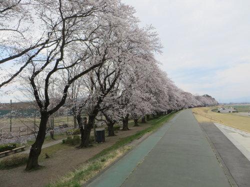烏川・碓氷川サイクリングロード沿いの桜