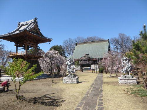 高崎市にある慈眼寺のしだれ桜