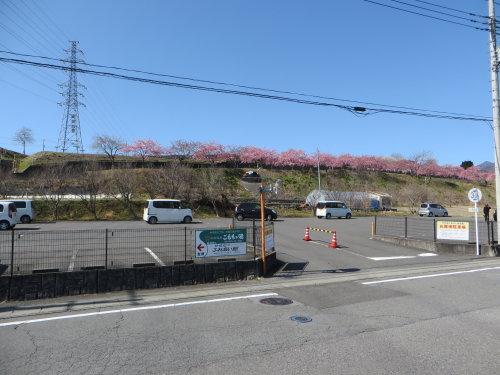河津桜の咲く「かわづ桜の丘白井」